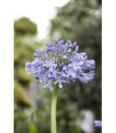 AGAPANTHUS, African Lilly