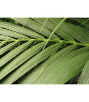 KENTIA FORSTERIANA, Kentia Palm