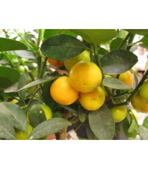 CITROFORTUNELLA MICROCARPA, CALAMONDIN, Orange citrus tree