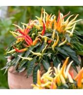 CAPSICUM, Ornamental Peppers