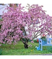 PRUNUS, Flowering Cherries