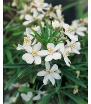 CHOISYA, Mexican Orange Blossom