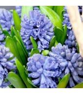 HYACINTHUS, Hyacinth
