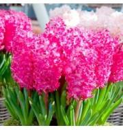 Polyanthus, Hyacinth, snowdrops & galanthus