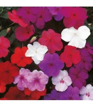 IMPATIENS, Busy Lizzie