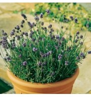 lavender, photinia, camelias