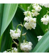 Convallaria, LILLY OF THE VALLEY