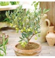 Viburnum Tinus and Fruit Trees
