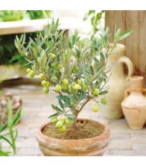 OLEA, Olive Trees