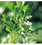 garden herbs, camelias