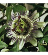 PASSIFLORA PURPLE HAZE, Passion Flower