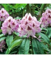 RHODODENDRUM, Rhododendron