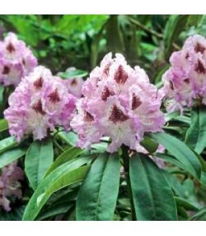 RHODODENDRUM, Rhododendron