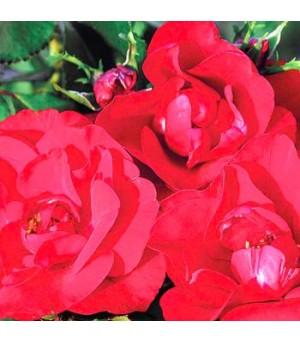 Rose, Floribunda Roses