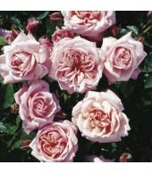 ROSES, SHRUB ROSES