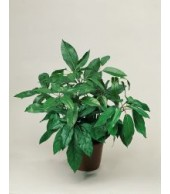 SCHEFFLERA, Umbrella Tree