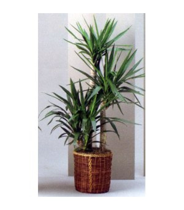 Indoor yucca elephantipes the image kid for Yucca elephantipes exterieur