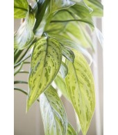 AGLAONEMA, Silver Queen