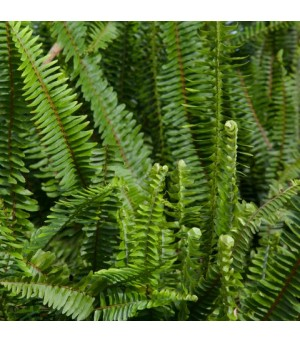NEPTHROLEPSIS, Boston fern