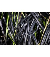 OPHIOPOGON PLANISCAPUS 'NIGRESCENS', Black Grass